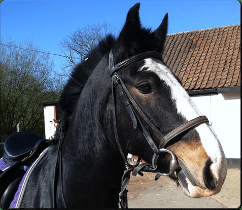horsebadger